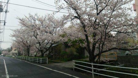 徒歩通勤を心掛けております故、このような景色も季節柄。