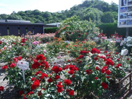 福山といえば薔薇でございまして。