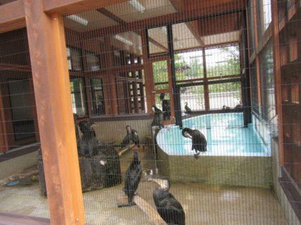 吉香鵜の里は、錦帯橋のう飼の鵜飼育施設。